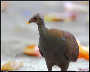 Philippine Megapode