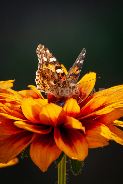 09/16/19 Painted Lady butterfly on flowers
