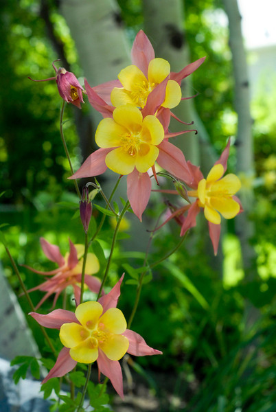 2011/6/4 – Two days ago I shot some Mountain Columbine in our front yard. Today's shot is a different variety that are in the same flower bed. We have 4 different varieties. This one is the most colorful mixture with the contrasting yellow and red petals. I wish they lasted all summer.