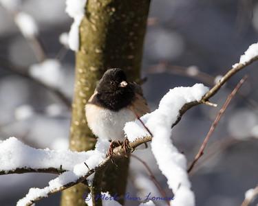 Dark-eyed Junco (Montana) - Junco hyemalis montanus