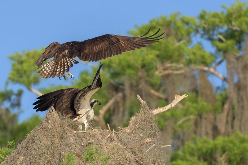 2021_KSMetz_Florida_Osprey Trip_April06_NIKON D850_3426.jpg