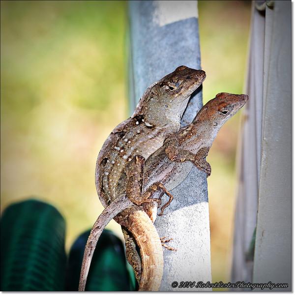 2014-06-06_IMG_0857__Anole Lizard,Clearwater,Fl..JPG