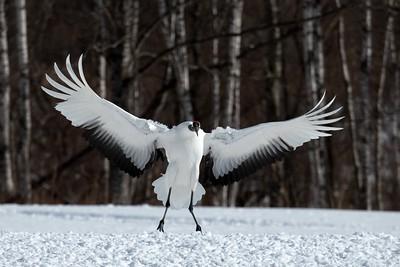 Japan Winter Wildlife - Additional