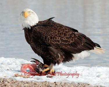 More/Eagles2013