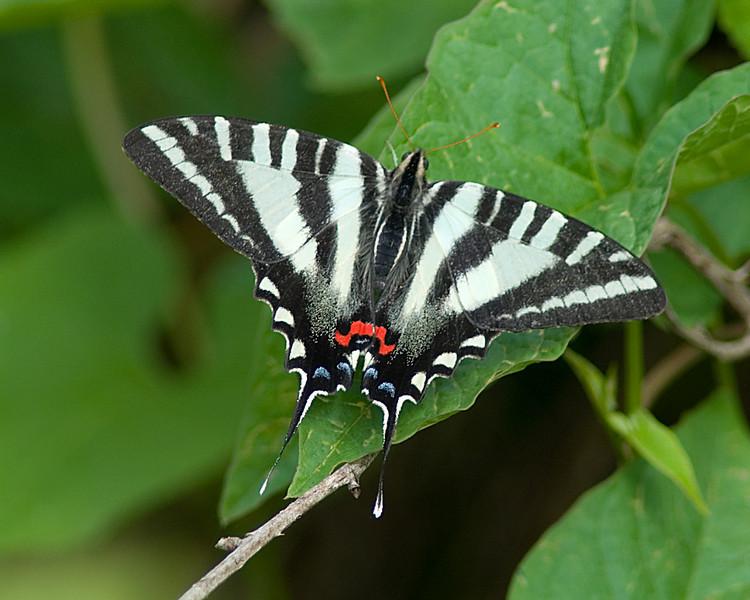 Zebra Swallowtail  Shawnee Forest, Cincinnati