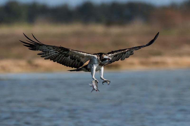 falco pescatore_MSN2894-2.jpg