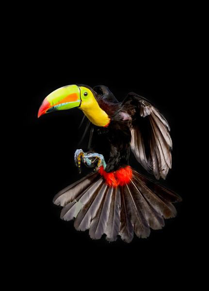 Keel-billed toucan in flight