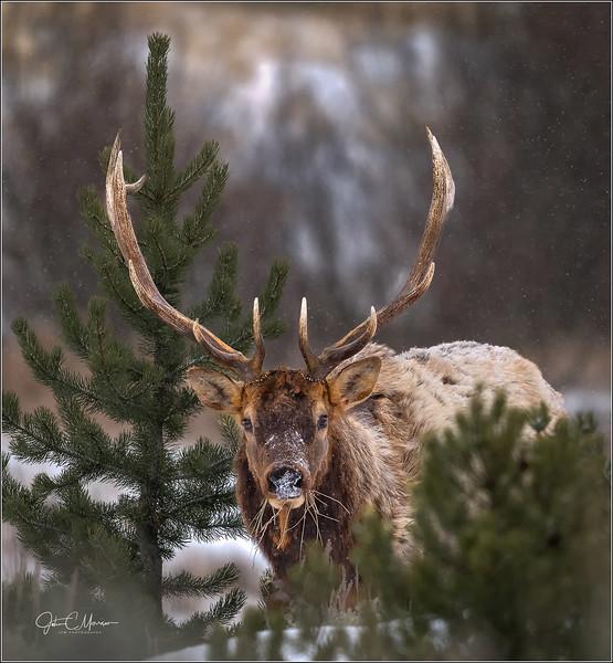 J85_0711 Bull Elk cust crop LPNW.jpg