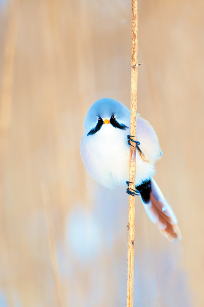Bearded tit , Skäggmes