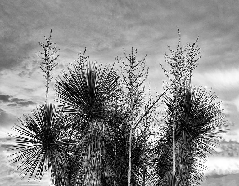 Yucca onTaos Pl 10-12-2016 BW-.jpg