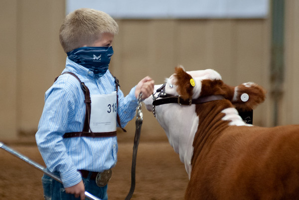 Pre-Junior Miniature Hereford Heifer and Steer Show