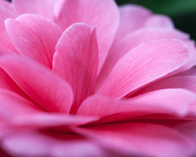 pink-camellia-02.jpg