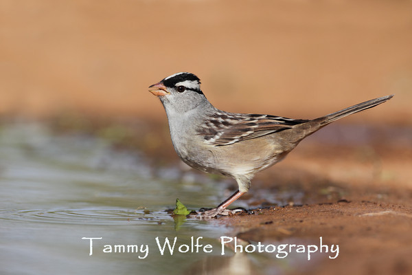 Sparrow, White-Crowned