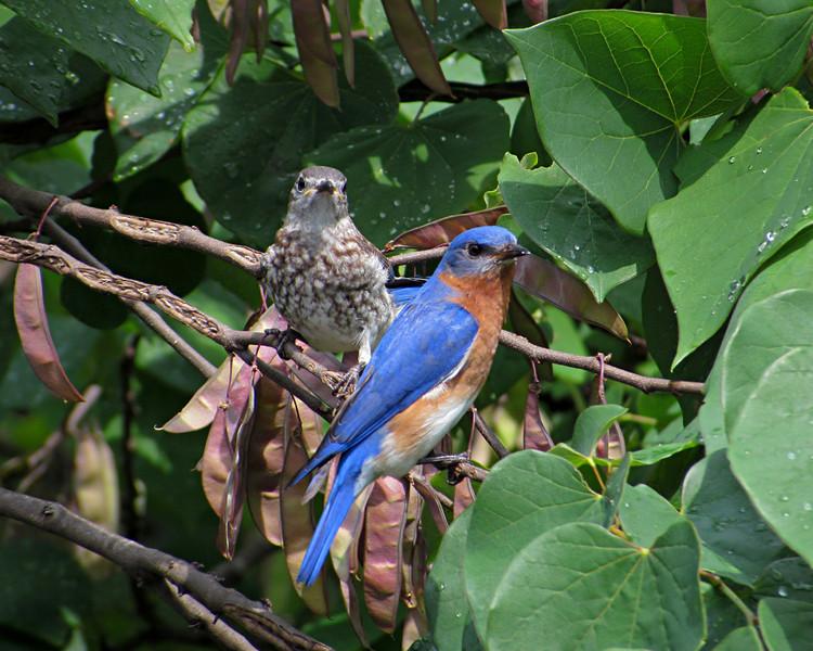 sx30_bluebird_fledgling_112.jpg