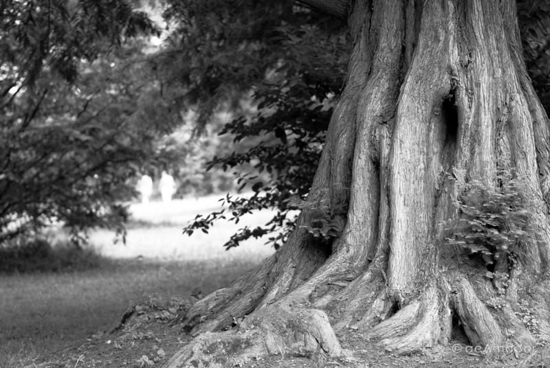 Redwood at Cylburn-aeamador-0036.jpg