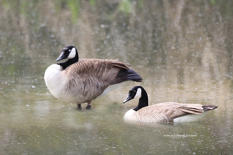 candian geese as time.jpg
