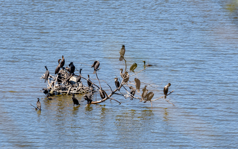 Double-crested Cormorants roosting at Eagle Creek Park, Indianapolis, IN