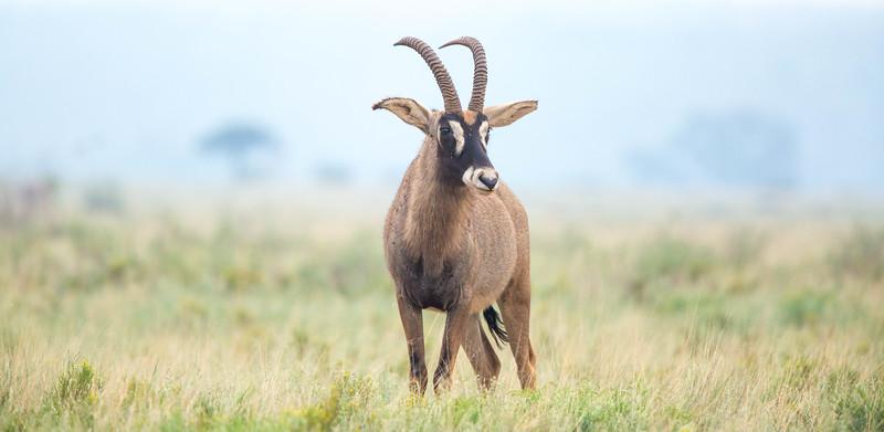 Roan Antelope in veld, Mokale National Park