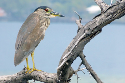 Juvenile Black-Crowned Night Heron January 2013, Cynthia Meyer, Hawaii
