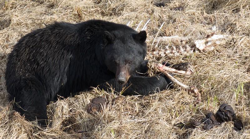 Black Bear Yellowstone National Park WY IMG_4794.jpg