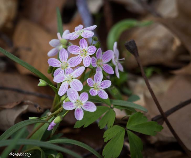 spring beauties 041915-3.jpg