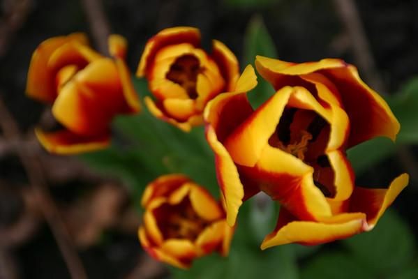 Tulips & Aliums