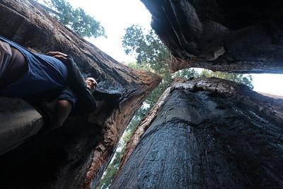07 02 Sequoias