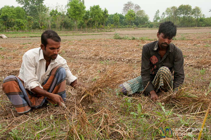 Harvesting Garlic from Fields - Hatiandha, Bangladesh