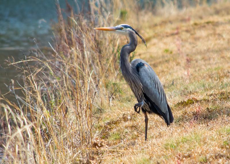 blue heron standing one foot (1 of 1).jpg