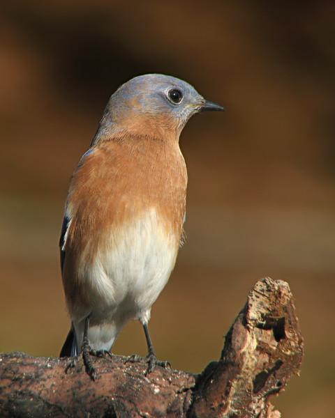 bluebird_7088.jpg
