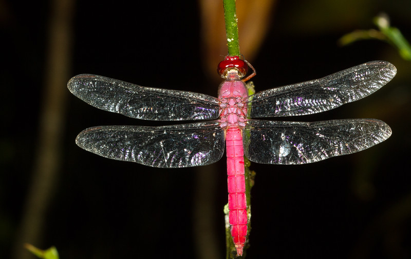 Skimmer dragonfly, Orthemis sp. (possibly O. discolor) from Panama. I caught this one napping during a night walk.