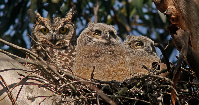 Great Horned Owl, mom and chicks