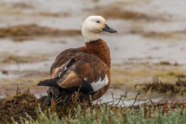 Paradise duck