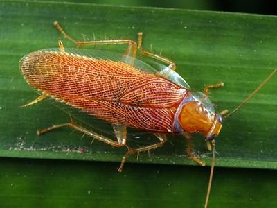 Ectobiidae