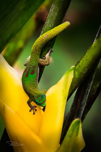JM8_4225 Gecko SP.jpg