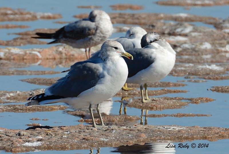 California Gull - 10/8/2014 - Salt Works