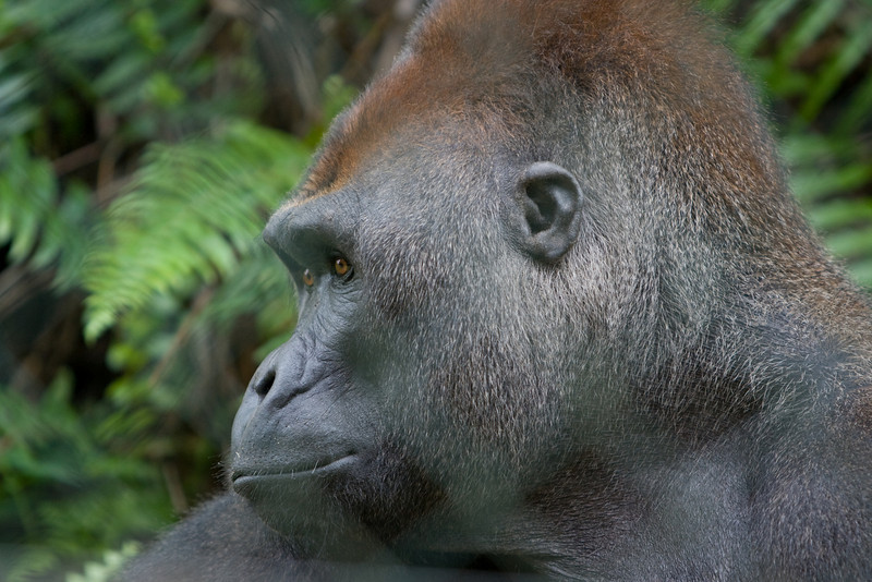 Mabeke, the silverback (dominant male).  He lived over 20 years in a research lab since when he was orphaned that was the only option for orphans.