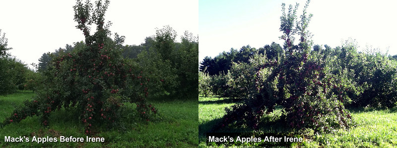 Mack's Apples Before and After photo. Irene little or no damage to Red Delicious Tree heavy with fruit.
