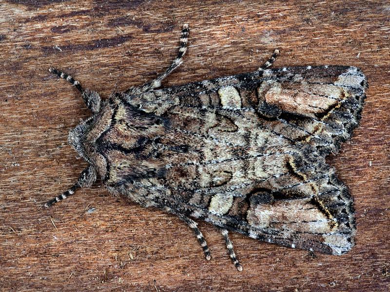 Brown Woodling Moth