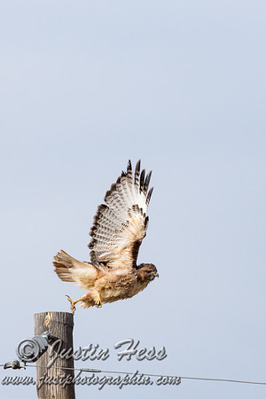 Red-Tailed Hawk 10-19-2017