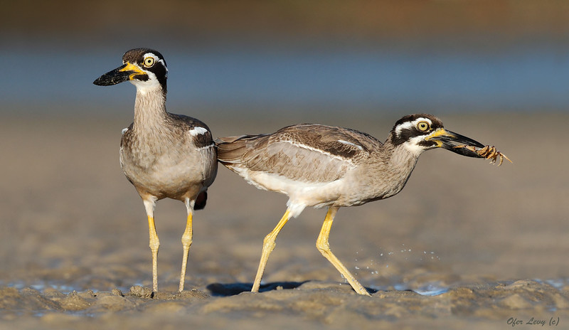 Beach Stone Curlew Adult and young carb MASTER.jpg