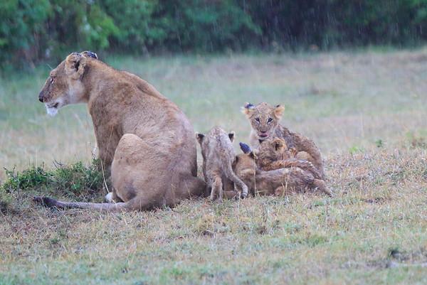 Lions in the Rain Mara Reserve Kenya 2014