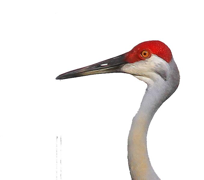 Crane Head.jpg