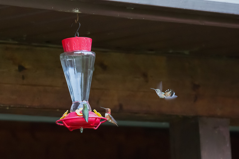 humming bird (52 of 55).jpg