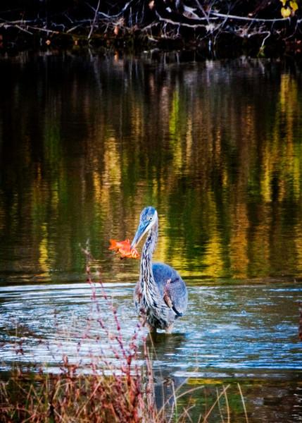 Herron  Going for the Gold-Fish.. Jack Roper.jpg