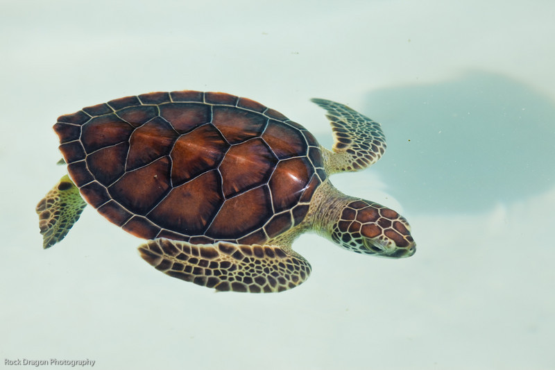 A baby sea turtle at the Xcaret Ecological park.