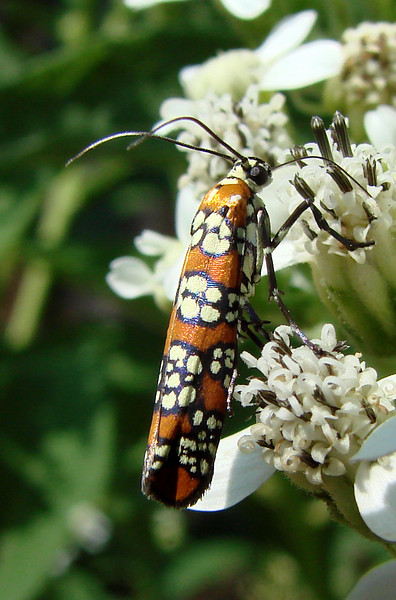 Ailanthus Webworm Moth (Atteva punctella). TX: Tarrant Co. (Duhons' Fort Worth yard), 11 September 2007.
