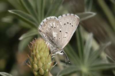 Arrowhead Blue