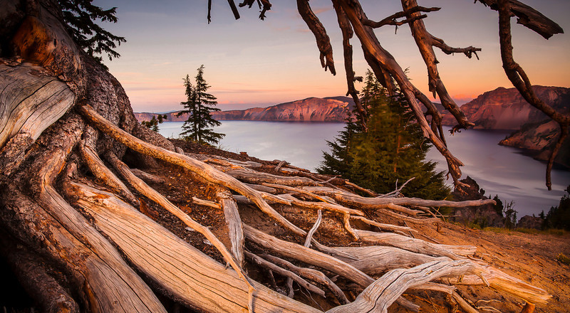 Whitebark pine killed by an invasive beetle from Asia the result of climate change. Crater Lake National Park