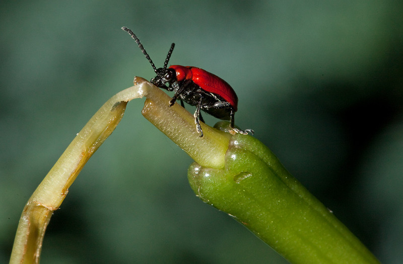 Scarlet lily beetle (lilioceris lilii) on the remains of a lily.